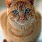Yello tabby cat